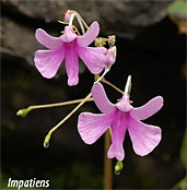 impatien flowers